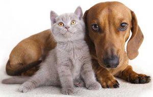 پتریزو | فروشگاه اینترنتی گربه|آرایشگاه حیوانات|بهترین فروشگاه گربه|فروش گربه -سگ-ها-مهربان-هستند-یا-گربه-ها؟-300x191 آیا سگ ها مهربان هستند یا گربه ها؟ گربه نگهداری و آشنایی با گربه ها