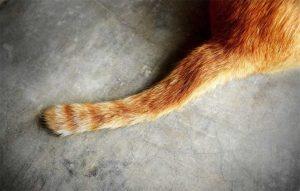 پتریزو | فروشگاه اینترنتی گربه|آرایشگاه حیوانات|بهترین فروشگاه گربه|فروش گربه -گربه-ها-با-دمشان-ارتباط-برقرار-می-کنند؟-300x191 آیا گربه ها با دمشان ارتباط برقرار می کنند؟ گربه نگهداری و آشنایی با گربه ها آیا گربه ها با دمشان ارتباط برقرار می کنند؟