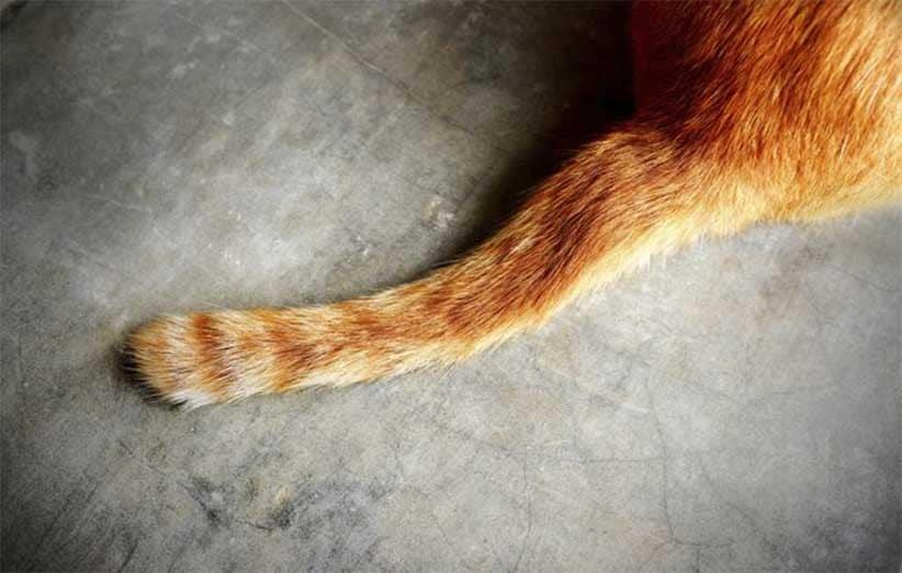 پتریزو | فروشگاه اینترنتی گربه|آرایشگاه حیوانات|بهترین فروشگاه گربه|فروش گربه -گربه-ها-با-دمشان-ارتباط-برقرار-می-کنند؟ آموزش ها و مقالات