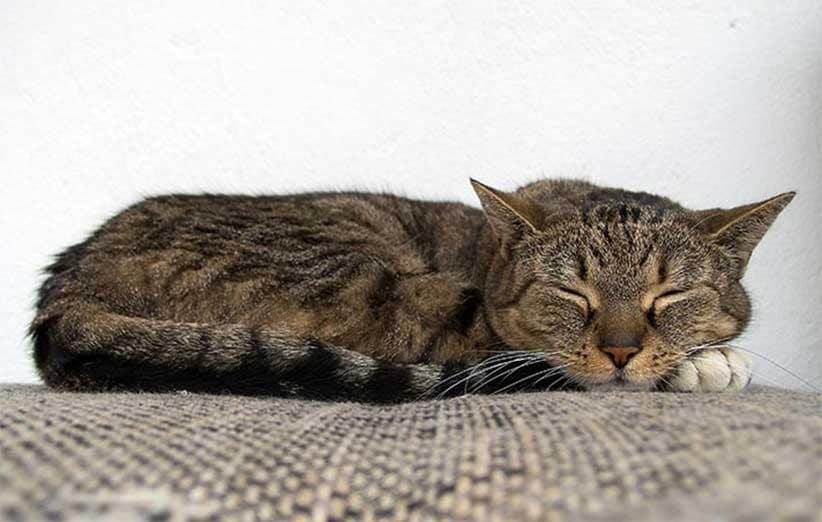 پتریزو | فروشگاه اینترنتی گربه|آرایشگاه حیوانات|بهترین فروشگاه گربه|فروش گربه -گربه-ها-زیاد-میخوابند؟ آموزش ها و مقالات