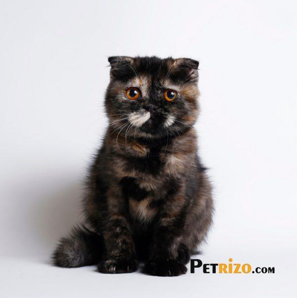 پتریزو | فروشگاه اینترنتی گربه|آرایشگاه حیوانات|بهترین فروشگاه گربه|فروش گربه WhatsApp-Image-2019-11-05-at-17.39.29-600x601 گربه اسکاتیش فولد 3 ماهه ماده