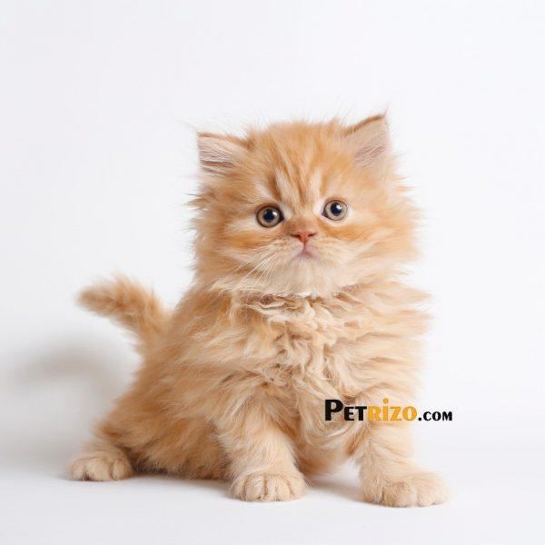 پتریزو | فروشگاه اینترنتی گربه|آرایشگاه حیوانات|بهترین فروشگاه گربه|فروش گربه WhatsApp-Image-2019-11-05-at-17.42.56-600x600 گربه پرشین صورت عروسکی 55 روزه ماده