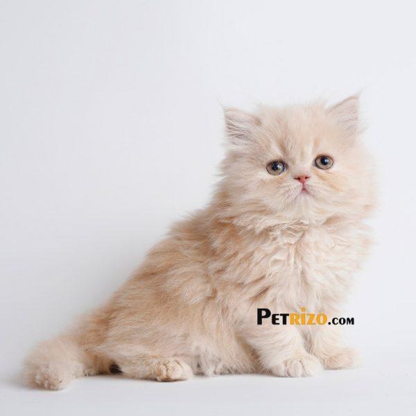 پتریزو | فروشگاه اینترنتی گربه|آرایشگاه حیوانات|بهترین فروشگاه گربه|فروش گربه WhatsApp-Image-2019-11-05-at-17.45.28-600x600 گربه پرشین صورت عروسکی 55 روزه ماده    فروش گربه