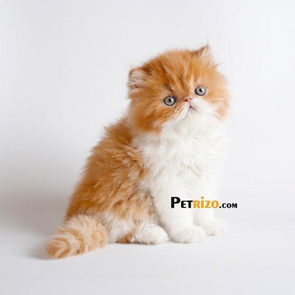 پتریزو | فروشگاه اینترنتی گربه|آرایشگاه حیوانات|بهترین فروشگاه گربه|فروش گربه WhatsApp-Image-2019-11-05-at-17.47.19-600x600 گربه پرشین فوق العاده اصیل و خالص بای کالر 60 روزه نر