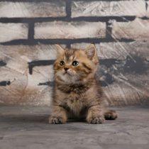 گربه اسکاتیش آنفولد