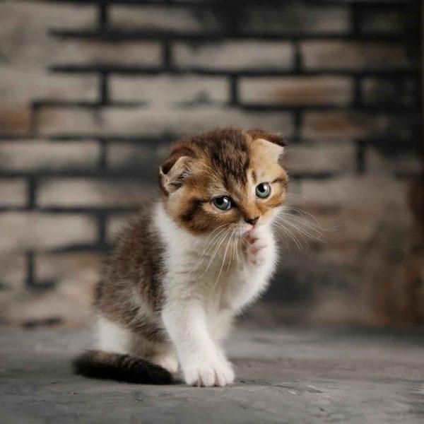 پتریزو | فروشگاه اینترنتی گربه|آرایشگاه حیوانات|بهترین فروشگاه گربه|فروش گربه WhatsApp-Image-2020-06-10-at-19.13.05-600x600 گربه اسکاتیش فولد استثنایی و کمیاب 45 روزه ماده
