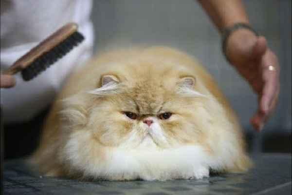 پتریزو | فروشگاه اینترنتی گربه|آرایشگاه حیوانات|بهترین فروشگاه گربه|فروش گربه 116-1 آموزش ها و مقالات