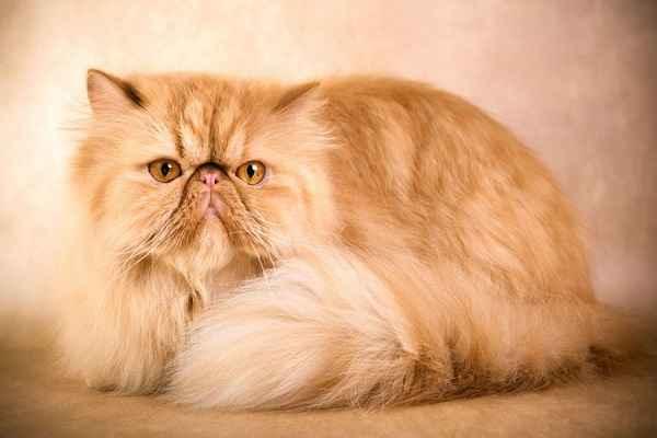 پتریزو | فروشگاه اینترنتی گربه|آرایشگاه حیوانات|بهترین فروشگاه گربه|فروش گربه 134 آموزش ها و مقالات