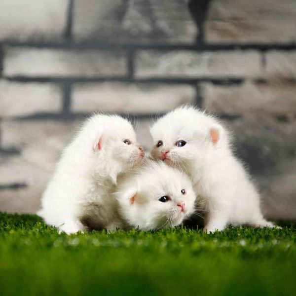 پتریزو | فروشگاه اینترنتی گربه|آرایشگاه حیوانات|بهترین فروشگاه گربه|فروش گربه WhatsApp-Image-2020-09-30-at-17.13.25-600x600 گربه اسکاتیش فولد استثنایی و کمیاب 50 روزه نر|ماده