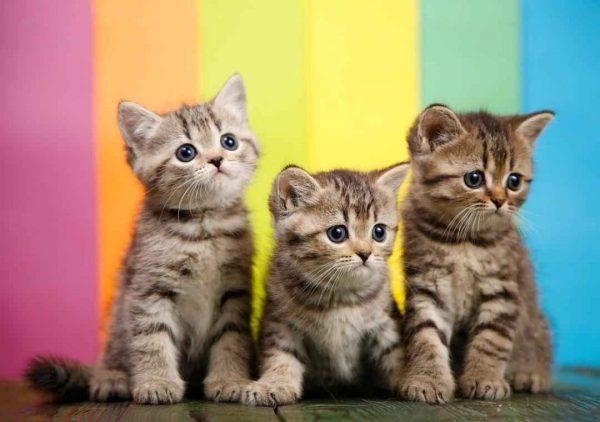 پتریزو | فروشگاه اینترنتی گربه|آرایشگاه حیوانات|بهترین فروشگاه گربه|فروش گربه WhatsApp-Image-2020-09-30-at-17.15.26-600x422 بریتیش های چین چیلا گلدن ny24 پنجاه روزه (آماده تحویل)