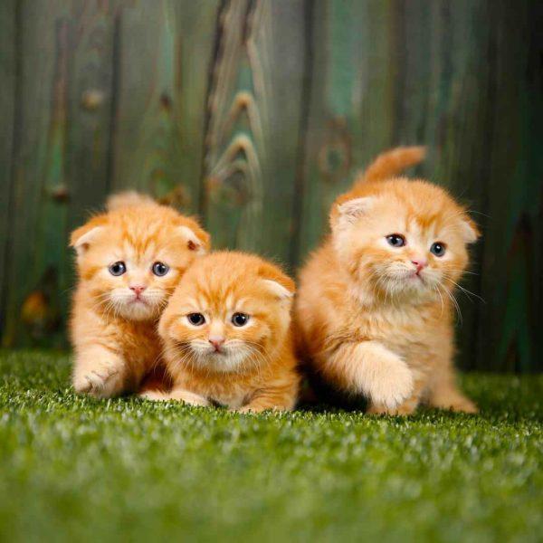 پتریزو | فروشگاه اینترنتی گربه|آرایشگاه حیوانات|بهترین فروشگاه گربه|فروش گربه WhatsApp-Image-2020-09-30-at-17.19.53-600x600 گربه اسکاتیش فولد استثنایی و کمیاب 50 روزه نر|ماده (آماده تحویل)