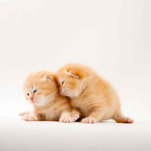 پتریزو | فروشگاه اینترنتی گربه|آرایشگاه حیوانات|بهترین فروشگاه گربه|فروش گربه WhatsApp-Image-2020-10-05-at-16.47.35-600x600 اسکاتیش فولد و آنفولد رنگ نارنجی تبی نر و ماده(تحویل در ۵۰ روزگی)