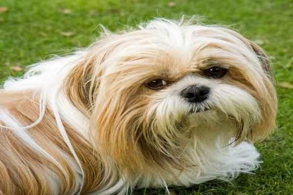 پتریزو | فروشگاه اینترنتی گربه|آرایشگاه حیوانات|بهترین فروشگاه گربه|فروش گربه shitzo اصلاح سگ شیتزو به چه صورت است؟ ارایشگاه سگ بلاگ راهنمای نژاد های سگ ها سلامتی و بهداشت سگ ها نظافت نظافت حیوانات خانگی