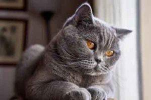 پتریزو | فروشگاه اینترنتی گربه|آرایشگاه حیوانات|بهترین فروشگاه گربه|فروش گربه ima55ges-1-300x200 معانی رنگ پوشش در گربه های بریتیش آموزش گربه ها ارایشگاه حیوانات تغذیه و رژیم غذایی گربه ها راهنمای نژاد های گربه ها گربه بریتیش فروش گربه بریتیش شورت هیر فروش گربه بریتیش غذای بچه گربه بریتیش خرید گربه بریتیش شورت هیر