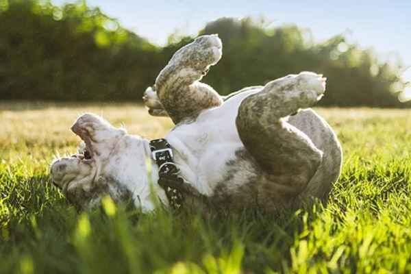 پتریزو | فروشگاه اینترنتی گربه|آرایشگاه حیوانات|بهترین فروشگاه گربه|فروش گربه -بازی-بنگ-به-سگ-1 آموزش بازی بنگ به سگ آموزش سگ ها راهنمای نژاد های سگ ها نگهداری و آشنایی با سگ ها فرمان و بازی بنگ اموزش كيو بنگ به سگ آموزش بنگ به سگ