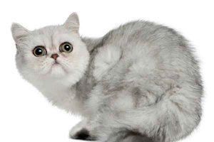 پتریزو   فروشگاه اینترنتی گربه آرایشگاه حیوانات بهترین فروشگاه گربه فروش گربه -1-300x200 حیوانات اگزوتیک راهنمای نژاد های گربه ها گربه گربه اگزاتیک قیمت گربه اگزاتیک فروش حیوانات اگزوتیک حیوان اگزوتیک