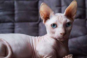 پتریزو | فروشگاه اینترنتی گربه|آرایشگاه حیوانات|بهترین فروشگاه گربه|فروش گربه -نژاد-اسفینکس-300x200 ویژگی ها و آراستگی گربه اسفینکس ارایشگاه گربه راهنمای نژاد های گربه ها سلامتی و بهداشت گربه ها گربه نظافت نظافت حیوانات خانگی نگهداری و آشنایی با گربه ها واگذاری گربه اسفینکس گربه های اسفینکس گربه نژاد اسفینکس گربه اسفینکس قیمت گربه اسفینکس دیوار گربه اسفینکس چیست