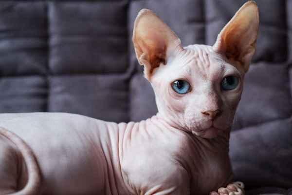 پتریزو | فروشگاه اینترنتی گربه|آرایشگاه حیوانات|بهترین فروشگاه گربه|فروش گربه -نژاد-اسفینکس آموزش ها و مقالات