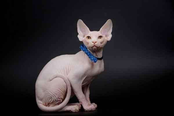 پتریزو | فروشگاه اینترنتی گربه|آرایشگاه حیوانات|بهترین فروشگاه گربه|فروش گربه -و-سلامت-نژاد-اسفینکس آموزش ها و مقالات