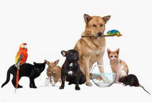 پتریزو | فروشگاه اینترنتی گربه|آرایشگاه حیوانات|بهترین فروشگاه گربه|فروش گربه -اگزوتیک-300x202 حیوانات اگزوتیک و انسان راهنمای نژاد های گربه ها گربه نگهداری و آشنایی با گربه ها فروش حیوانات اگزوتیک حیوانات اگزوتیک حیوان اگزوتیک