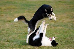 پتریزو | فروشگاه اینترنتی گربه|آرایشگاه حیوانات|بهترین فروشگاه گربه|فروش گربه -سگ-ها-1-300x200 آموزش دعوا به سگ آموزش سگ ها تغذیه و رژیم غذایی گربه ها راهنمای نژاد های سگ ها سلامتی و بهداشت سگ ها نگهداری و آشنایی با سگ ها سگ دعوا گله ای سگ دعوا سرابی سگ دعوا خرسی سگ دعوا با گرگ دعوا سگ