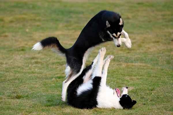 پتریزو | فروشگاه اینترنتی گربه|آرایشگاه حیوانات|بهترین فروشگاه گربه|فروش گربه -سگ-ها-1 آموزش دعوا به سگ آموزش سگ ها تغذیه و رژیم غذایی گربه ها راهنمای نژاد های سگ ها سلامتی و بهداشت سگ ها نگهداری و آشنایی با سگ ها سگ دعوا گله ای سگ دعوا سرابی سگ دعوا خرسی سگ دعوا با گرگ دعوا سگ