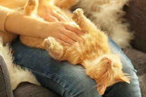 پتریزو | فروشگاه اینترنتی گربه|آرایشگاه حیوانات|بهترین فروشگاه گربه|فروش گربه -ماساژ-گربه-300x200 ماساژ قسمت های مختلف بدن گربه آموزش گربه ها راهنمای نژاد های گربه ها سلامتی و بهداشت گربه ها گربه نگهداری و آشنایی با گربه ها ماساژ گربه علت ماساژ دادن گربه ها روش درست ماساژ گربه آموزش ماساژ گربه