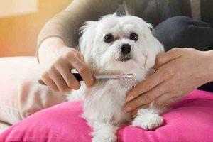 پتریزو | فروشگاه اینترنتی گربه|آرایشگاه حیوانات|بهترین فروشگاه گربه|فروش گربه -زدن-مو-سگ-300x200 دلیل شانه کردن مو سگ چیست ؟ ارایشگاه حیوانات ارایشگاه سگ راهنمای نژاد های سگ ها نظافت نظافت حیوانات خانگی نگهداری و آشنایی با سگ ها شانه مو سگ شانه كردن موي سگ شانه زدن موی سگ شانه برای موی سگ دلیل شانه زدن مو سگ