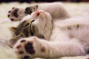 پتریزو | فروشگاه اینترنتی گربه|آرایشگاه حیوانات|بهترین فروشگاه گربه|فروش گربه -گربه-300x200 صفحه اصلی