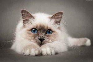 پتریزو | فروشگاه اینترنتی گربه|آرایشگاه حیوانات|بهترین فروشگاه گربه|فروش گربه -بیرمن-300x200 گربه نژاد بیرمن ارایشگاه گربه تغذیه و رژیم غذایی گربه ها راهنمای نژاد های گربه ها سلامتی و بهداشت گربه ها گربه نظافت نظافت حیوانات خانگی نگهداری و آشنایی با گربه ها نژاد گربه بیرمن گربه بیرمن قیمت گربه بیرمن قیمت بچه گربه بیرمن فروش گربه بیرمن خصوصیات گربه بیرمن