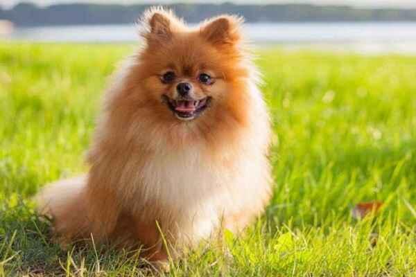 پتریزو | فروشگاه اینترنتی گربه|آرایشگاه حیوانات|بهترین فروشگاه گربه|فروش گربه -های-ظاهری-و-خصوصیات-پامرانین ویژگی های ظاهری و مشخصات رفتاری سگ پامرانین آموزش سگ ها ارایشگاه حیوانات ارایشگاه سگ راهنمای نژاد های سگ ها نظافت حیوانات خانگی نگهداری و آشنایی با سگ ها عکس سگ پامرانین سگ پامرانین عروسکی سگ پامرانین سفید سگ پامرانین روباهی سگ پامرانین خرسی سگ پامرانین خرید سگ پامرانین