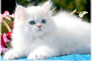 پتریزو | فروشگاه اینترنتی گربه|آرایشگاه حیوانات|بهترین فروشگاه گربه|فروش گربه -عروسکی-300x200 گربه پرشین عروسکی ارایشگاه حیوانات ارایشگاه گربه تغذیه و رژیم غذایی گربه ها راهنمای نژاد های گربه ها سلامتی و بهداشت گربه ها گربه نظافت حیوانات خانگی نگهداری و آشنایی با گربه ها گربه پرشین عروسکی قیمت گربه پرشین عروسکی سفید گربه پرشین عروسکی خرید پرشین کت عروسکی پرشین عروسکی یا فنجانی پرشین صورت عروسکی