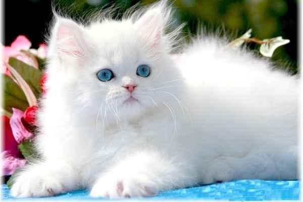 پتریزو | فروشگاه اینترنتی گربه|آرایشگاه حیوانات|بهترین فروشگاه گربه|فروش گربه -عروسکی آموزش ها و مقالات