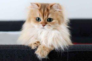 پتریزو | فروشگاه اینترنتی گربه|آرایشگاه حیوانات|بهترین فروشگاه گربه|فروش گربه -1-300x200 نظافت و آراستگی گربه پرشین و اسکاتیش ارایشگاه حیوانات ارایشگاه گربه گربه پرشین کلاسیک گربه پرشین قیمت گربه پرشین فلت گربه پرشین سفید اسکاتیش فولد