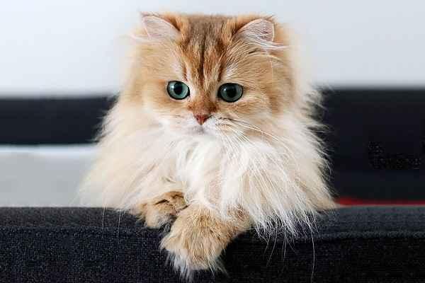 پتریزو   فروشگاه اینترنتی گربه آرایشگاه حیوانات بهترین فروشگاه گربه فروش گربه -1 نظافت و آراستگی گربه پرشین و اسکاتیش ارایشگاه حیوانات ارایشگاه گربه گربه پرشین کلاسیک گربه پرشین قیمت گربه پرشین فلت گربه پرشین سفید اسکاتیش فولد