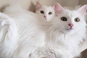 پتریزو | فروشگاه اینترنتی گربه|آرایشگاه حیوانات|بهترین فروشگاه گربه|فروش گربه -انگورا-پتریزو-300x200 تربیت و سلامتی گربه آنگورا آموزش گربه ها راهنمای نژاد های گربه ها سلامتی و بهداشت گربه ها گربه نظافت نظافت حیوانات خانگی نگهداری و آشنایی با گربه ها گربه نژاد ترکیش آنگورا گربه نژاد انگورا گربه آنگورا قیمت عکس گربه انگورا خرید گربه انگورا