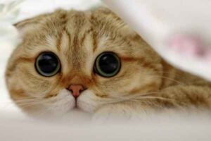 پتریزو | فروشگاه اینترنتی گربه|آرایشگاه حیوانات|بهترین فروشگاه گربه|فروش گربه -300x200 5 نکته جالب در ارتباط با گربه اسکاتیش ارایشگاه گربه تغذیه و رژیم غذایی گربه ها راهنمای نژاد های گربه ها سلامتی و بهداشت گربه ها گربه نگهداری و آشنایی با گربه ها گربه اسکاتیش قیمت گربه اسکاتیش فولد گربه اسکاتیش سفید گربه اسکاتیش بلو فروش گربه اسکاتیش آنفولد فروش گربه اسکاتیش