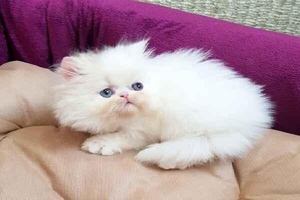پتریزو | فروشگاه اینترنتی گربه|آرایشگاه حیوانات|بهترین فروشگاه گربه|فروش گربه -سوپر-فلت آموزش ها و مقالات