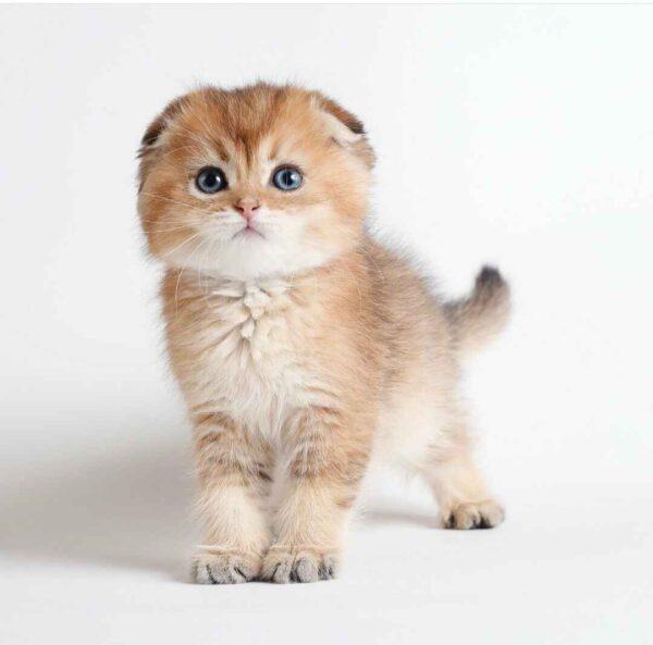پتریزو | فروشگاه اینترنتی گربه|آرایشگاه حیوانات|بهترین فروشگاه گربه|فروش گربه 20210228_215508-600x593 گربه اسکاتیش فولد گلد چینچیلا مو کوتاه خاص و کمیاب | نر 50 روزه