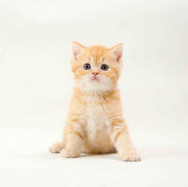 پتریزو | فروشگاه اینترنتی گربه|آرایشگاه حیوانات|بهترین فروشگاه گربه|فروش گربه 20210228_232935-600x599 بریتیش رنگ نارنجی مو کوتاه فوق العاده اصیل و کمیاب | نر 50 روزه