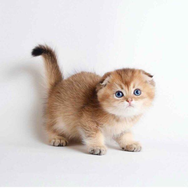 پتریزو | فروشگاه اینترنتی گربه|آرایشگاه حیوانات|بهترین فروشگاه گربه|فروش گربه 20210228_233006-600x599 گربه اسکاتیش فولد گلد چینچیلا مو کوتاه خاص و کمیاب | نر 50 روزه