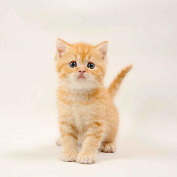 پتریزو | فروشگاه اینترنتی گربه|آرایشگاه حیوانات|بهترین فروشگاه گربه|فروش گربه IMG-20210223-WA0104-600x600 بریتیش رنگ نارنجی مو کوتاه | اصیل و کمیاب | نر 50 روزه
