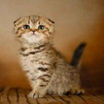 گربه اسکاتیش فولد ماده