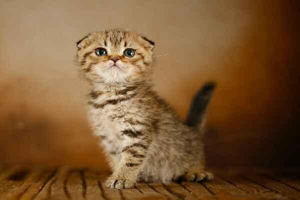 پتریزو | فروشگاه اینترنتی گربه|آرایشگاه حیوانات|بهترین فروشگاه گربه|فروش گربه Screenshot_20210205-163911_Instagram اسکاتیش فولد گلد ny24 مو کوتاه فوق العاده اصیل و کمیاب