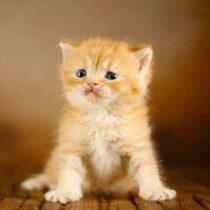 گربه اسکاتیش نارنجی