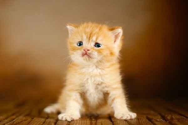 پتریزو | فروشگاه اینترنتی گربه|آرایشگاه حیوانات|بهترین فروشگاه گربه|فروش گربه Screenshot_20210205-163920_Instagram اسکاتیش نارنجی تبی نر مو کوتاه | فوق العاده اصیل و کمیاب