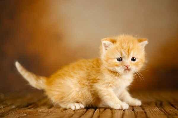 پتریزو | فروشگاه اینترنتی گربه|آرایشگاه حیوانات|بهترین فروشگاه گربه|فروش گربه Screenshot_20210205-163928_Instagram اسکاتیش رنگ نارنجی تبی مو کوتاه نر| فوق العاده اصیل و کمیاب |تحویل در ۵۰ روزگی