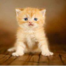 پتریزو | فروشگاه اینترنتی گربه|آرایشگاه حیوانات|بهترین فروشگاه گربه|فروش گربه Screenshot_20210205-163931_Instagram-210x210 صفحه اصلی