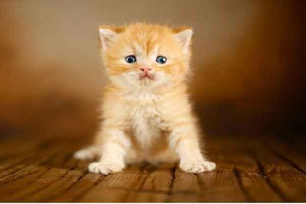 پتریزو   فروشگاه اینترنتی گربه آرایشگاه حیوانات بهترین فروشگاه گربه فروش گربه Screenshot_20210205-163931_Instagram اسکاتیش رنگ نارنجی تبی مو کوتاه نر  فوق العاده اصیل و کمیاب  تحویل در ۵۰ روزگی