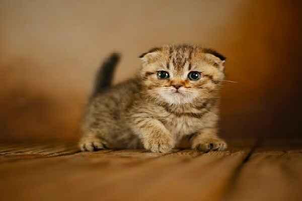 پتریزو   فروشگاه اینترنتی گربه آرایشگاه حیوانات بهترین فروشگاه گربه فروش گربه Screenshot_20210205-230756_Instagram اسکاتیش فولد گلد ny24 مو کوتاه   اصیل و کمیاب   تحویل در 50 روزگی